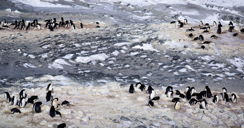 Adelie penguins at Cape Royds, Antarctica.