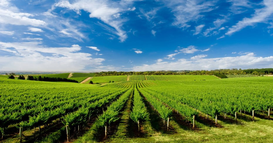 One Tree Hill Vineyard near Adelaide, Australia.
