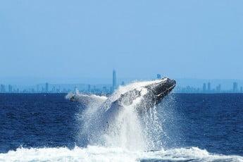 Humpback whale, Gold Coast, Australia.