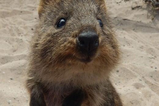Quokka, Rottnest Island, Perth.
