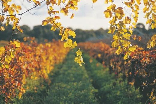 Swan Valley Vineyards, Perth, Australia.
