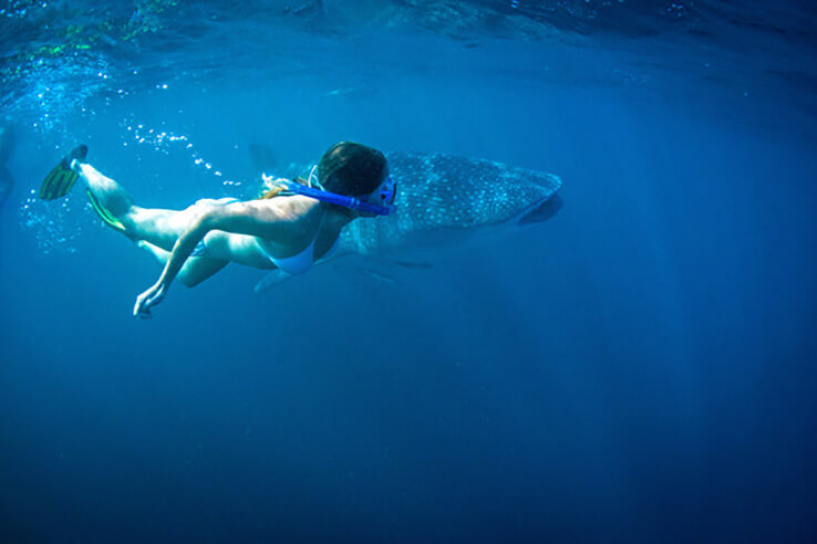 Woman swiming with a whale shark (Rhincodon typus), Nigaloo Marine Park, Perth, Australia.