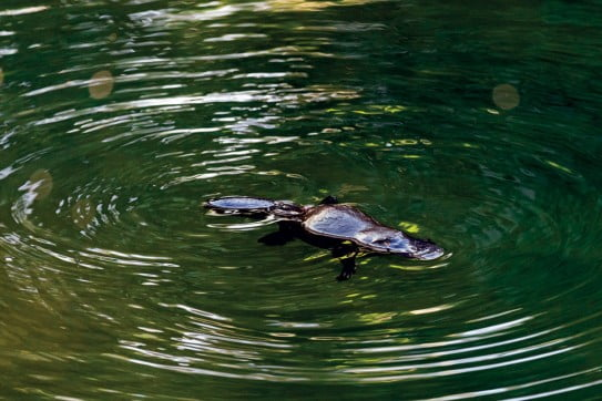 Platypus, Australia.