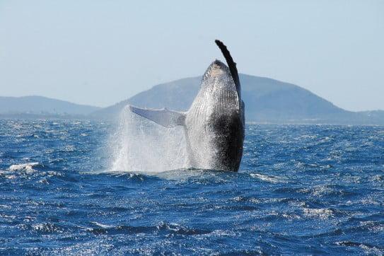 Breaching Whale, Sunshine Coast