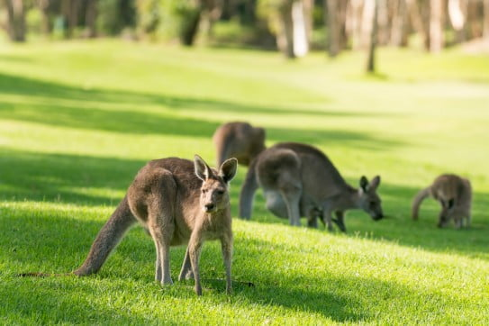 Kangaroos at Twin Waters golf course