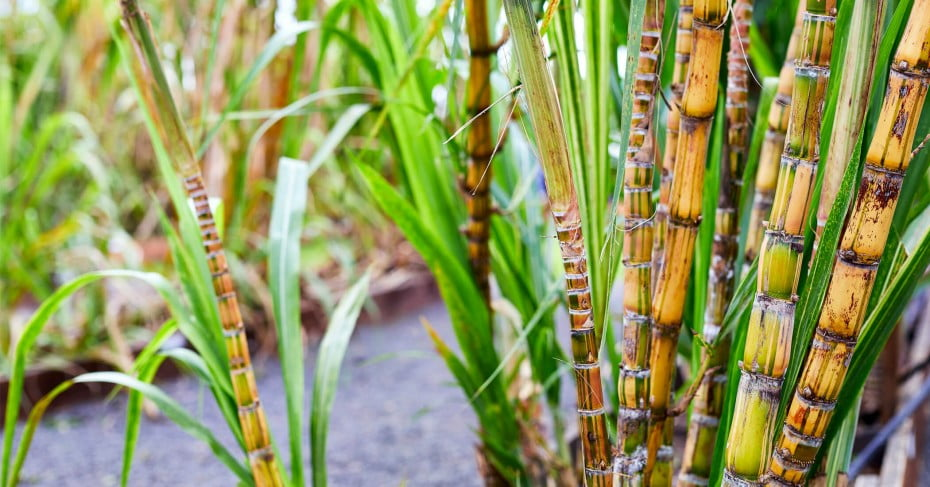 Sugar cane at the Kohana Rum tour
