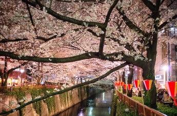 Cherry Blossom at Nakameguro, Tokyo, Japan.