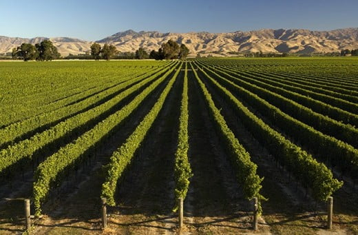 Marlborough Vineyard, Blenheim, New Zealand