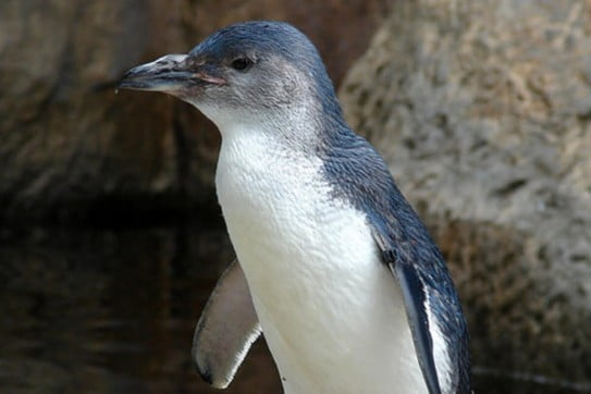 Little blue penguin, Christchurch, New Zealand.