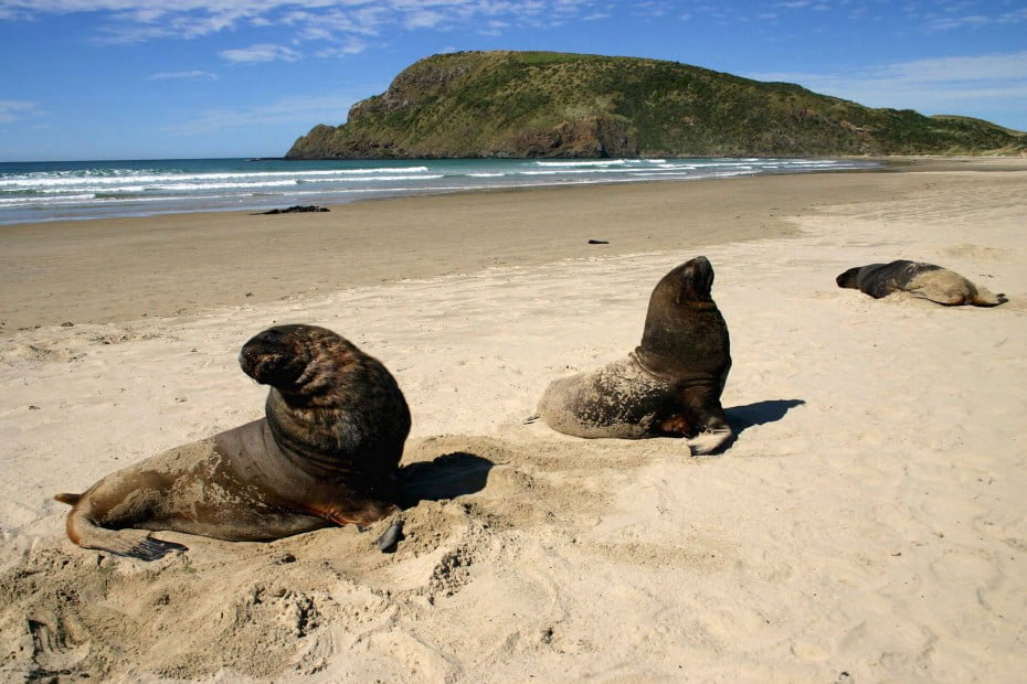 Sea lions on a sandy beach, Cannibal Bay, Catlins, NZ.