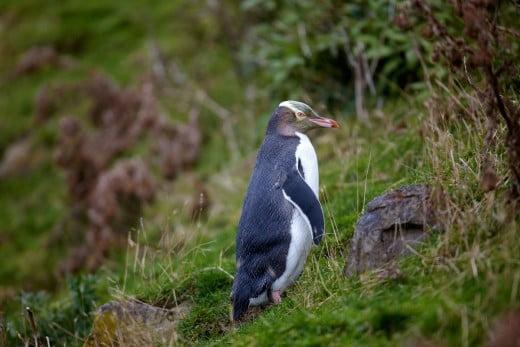 Yellow-eyed penguin, New Zealand.