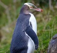 黃眼企鵝(Yellow Eyed Penguin)