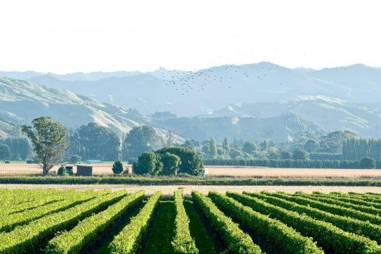 Vineyard in Gisborne, New Zealand.