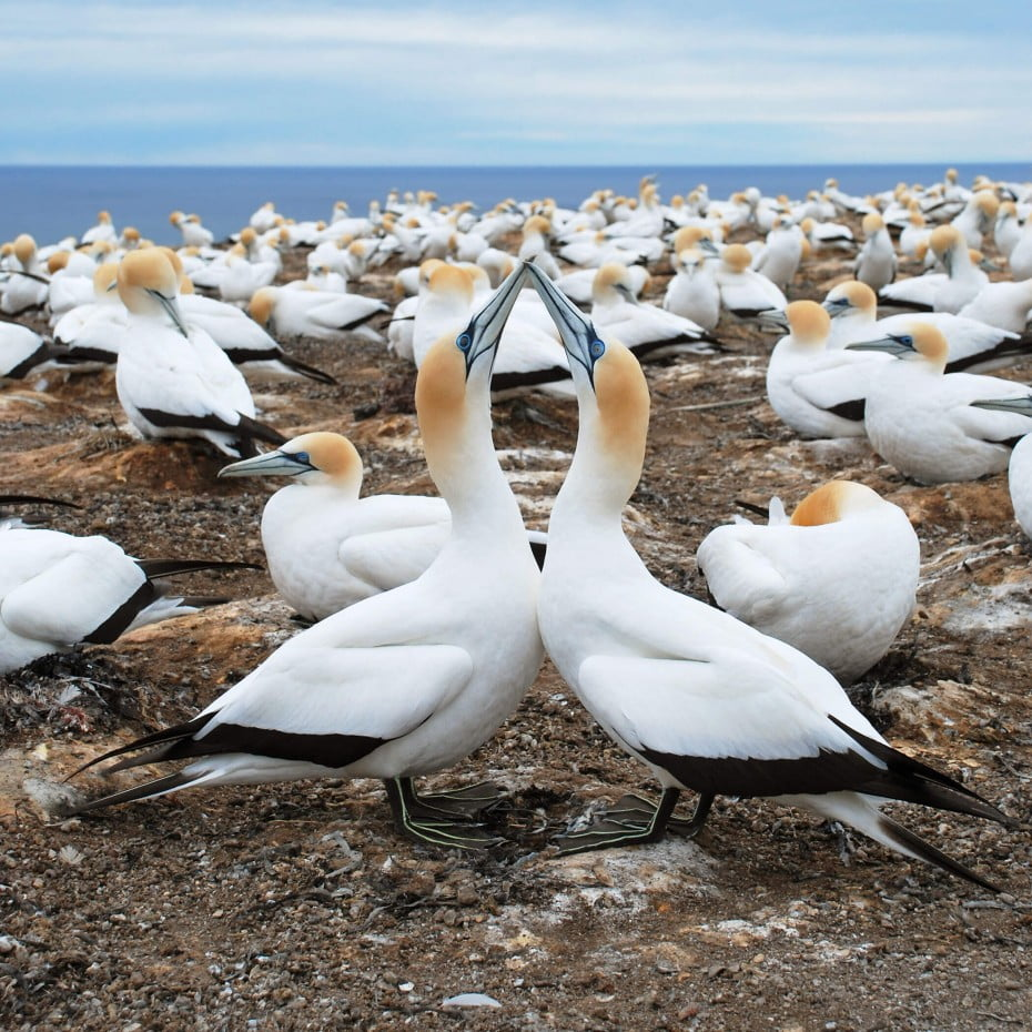 Gannets at Cape Kidnappers, Napier, New Zealand.