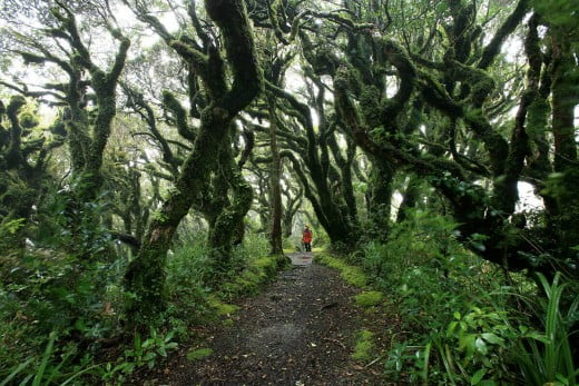 Goblin Forest, Mt Taranaki, New Plymouth/Taranaki, New Zealand.