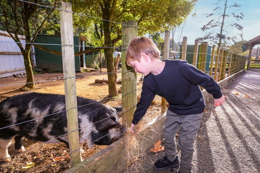 Boy feeding pig, Brookland Zoo & Farmyard, New Plymouth/Taranaki, New Zealand.