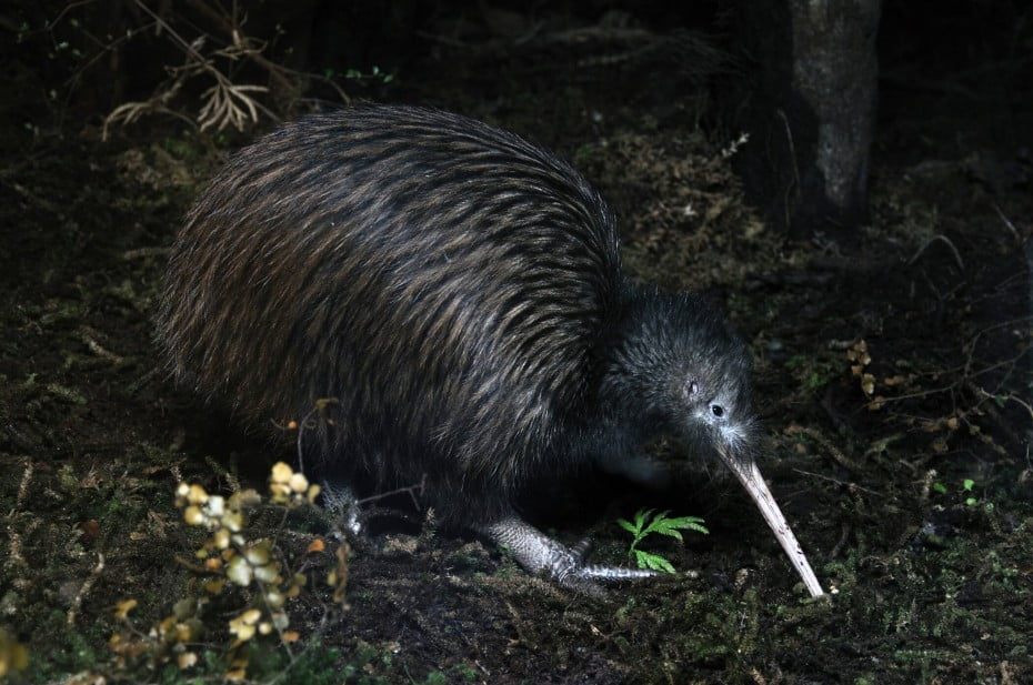 The North Island brown kiwi, is a species of kiwi that is widespread in the northern two-thirds of the North Island of New Zealand and, with about 35,000 remaining, is the most common kiwi.