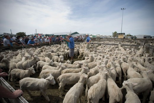 Sheepyard auction, Feilding, Palmerston North, New Zealand.