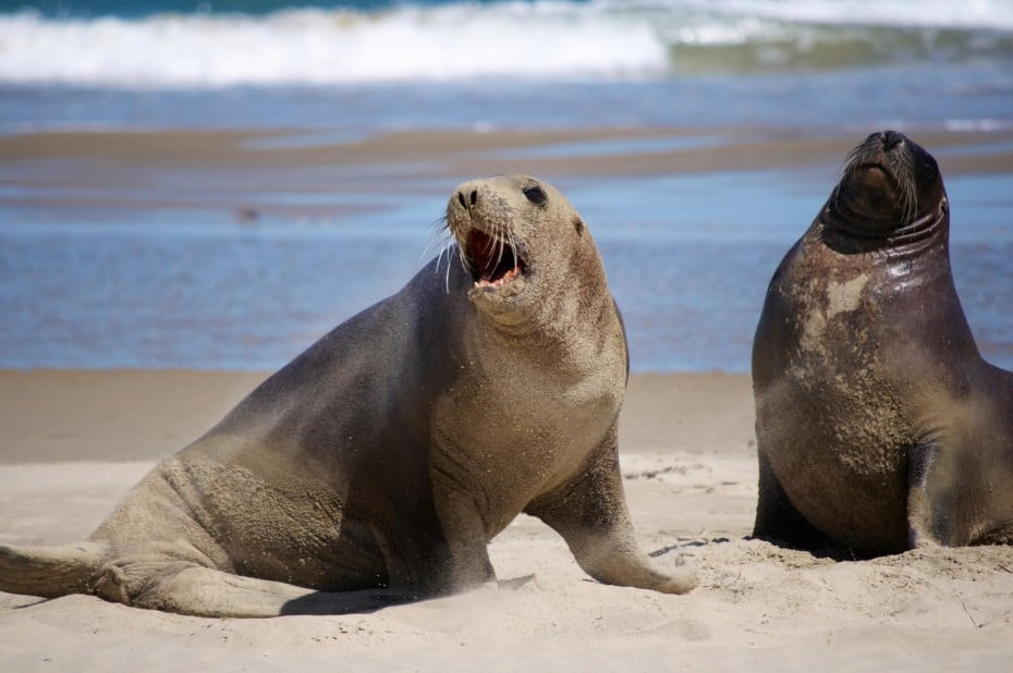Two sea lions on the beach in Surat Bay, New Zealand