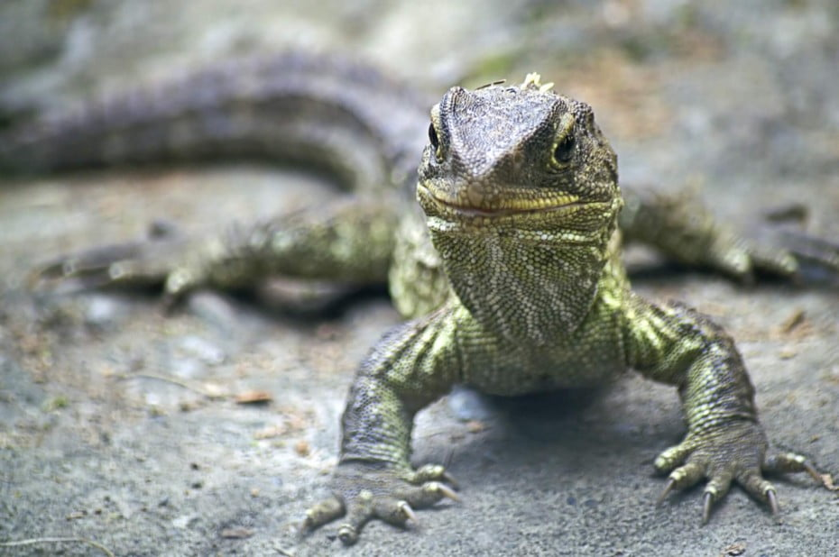Endangered species in New Zealand; Tuataras are equally related to lizards and snakes; the name Tuatara derives from the Maori language, and means peaks on the back.