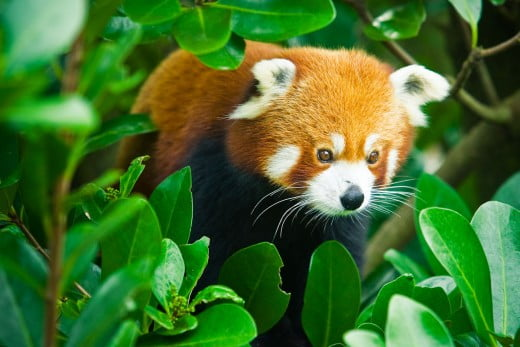 Red panda, Wellington Zoo.