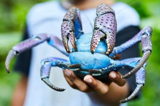 Uga the giant blue coconut crab, Niue.