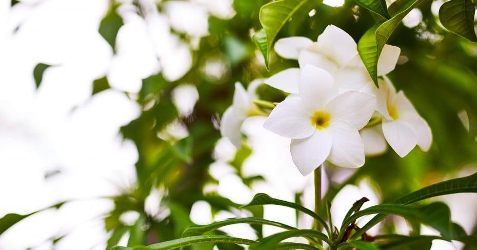 Tahiti flowers.