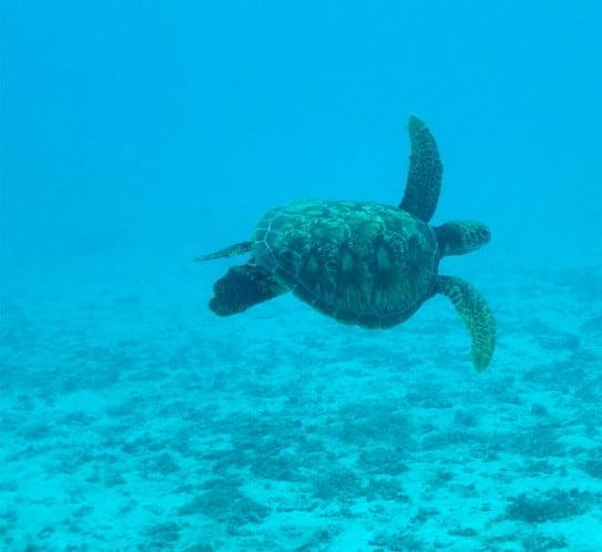 Turtle in Tahiti