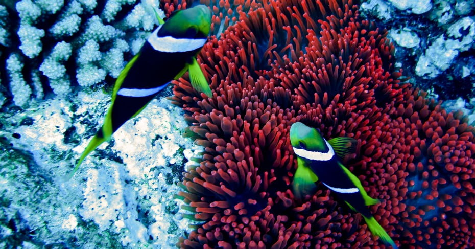 Clown fish, Tonga, Pacific Islands.