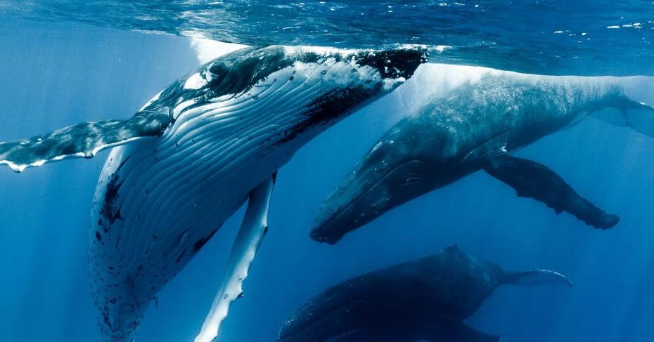 Humpback whales in Tonga.