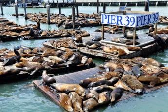 Sealions, Pier 39, San Francisco, USA.