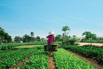 Rice paddies, Hoi An, Vietnam.