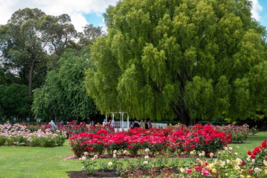 The Rose Garden Victoria Esplanade, Palmerston North, NZ