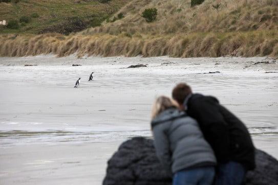はるかなる大自然への旅 - ワイルドライフ - ペンギン - ダニーデン