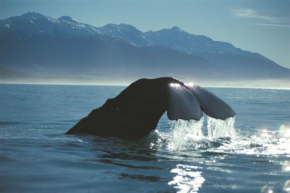 魅力満載 夏のニュージーランド - カイコウラ