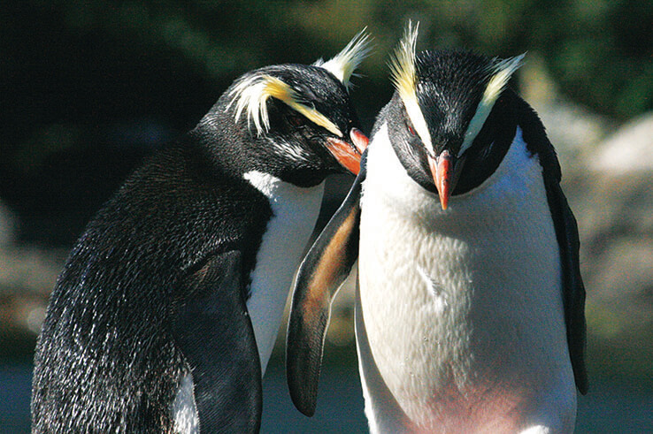 Crested Penguin pair, Fiordland, New Zealand