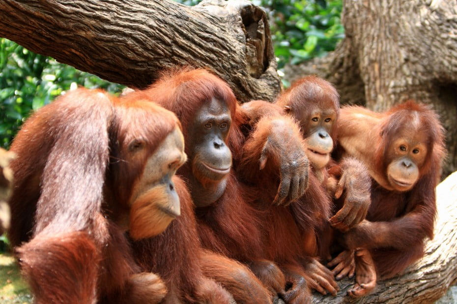 Singapore Orangutan