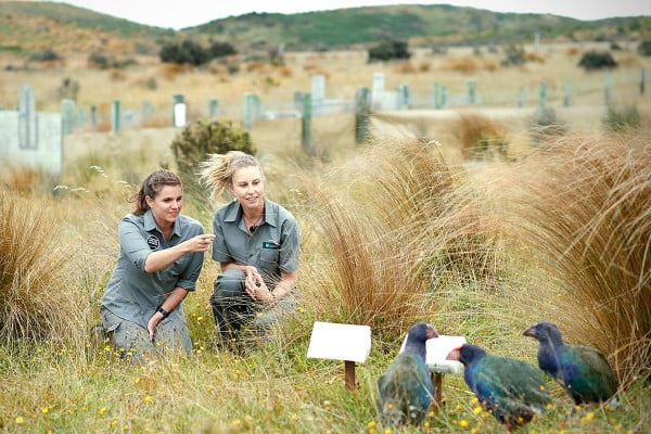 Takahe bird conservation